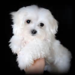 Maltese Puppies Maltese Puppies For Sale In Carolina May 2009