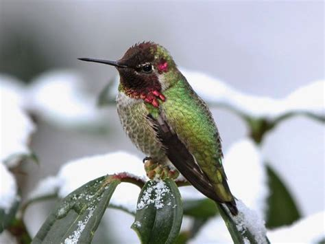 anna s hummingbirds can be seen in winter