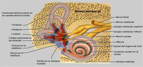 vestibulo membranoso anatom 237 a del o 237 do