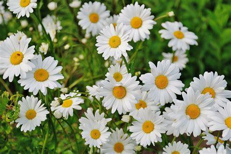 shasta daisies   plant grow  care  daisy