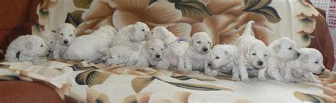 komondor puppies for sale komondor