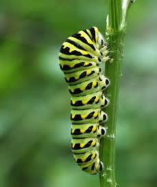 how to use fennel or dill to keep caterpillars off your