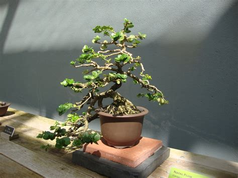 New Bonsai Gardens by Name That Photo Bonsai Tree In Ny By New York Feng Shui Consultant