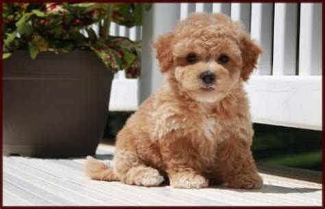 poochon puppies for sale poochon bichon poodle puppies for sale nursery 3 iowa