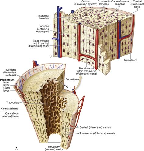section 189 retrenchment transverse section of bone 28 images bone human
