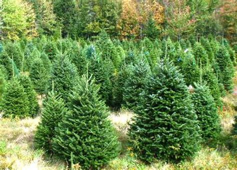 fresh christmas trees where to buy in dubai emirates 24 7
