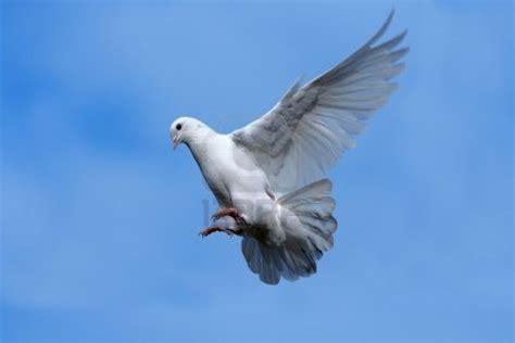 imagenes de palomas blancas en vuelo paloma cooler recipe dishmaps