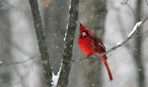 cardinal snow snowstorm red bird image 474579 on