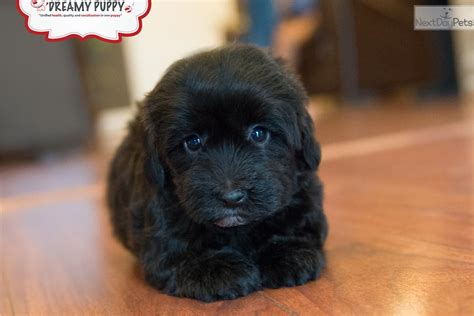 doxiepoo puppies the gallery for gt doxiepoo grown