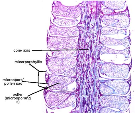 cone cross section cross section of male pinus microstrobilus of phylum