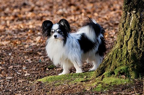 smartest small dogs 10 smartest small breeds iheartdogs