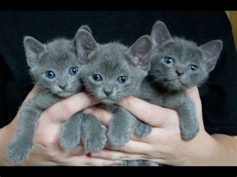 and kitten korat cat and kittens history of the thai historical breed