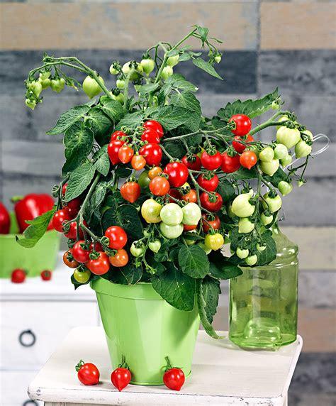 Graminées En Jardinière by Tomates Cerises En Pot Inspirations Avec Tomate En Pot Ou