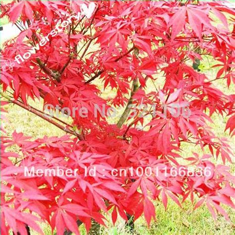 50 passionate japanese red maple bamboo leaf seeds in