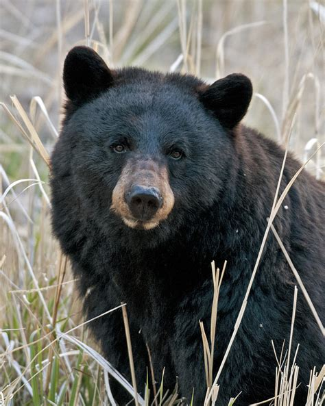 black bear wildlife officials to allow black bear hunts wusf news