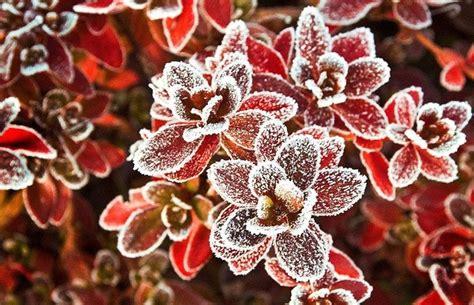 piante da giardino resistenti al gelo le piante al gelo speciali le piante al gelo