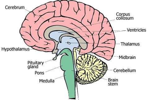3 sections of the brain brain stem causes symptoms treatment brain stem