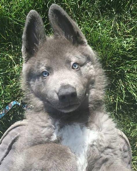 blue shepherd puppies best 25 blue german shepherd ideas on german shepherd mix coat