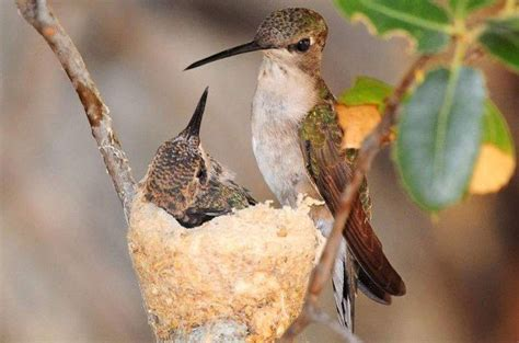 tip for getting hummingbirds to nest in your garden