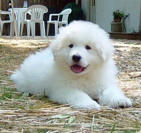 kuvasz puppy hungarian kuvasz puppy you can t resist wanting to cuddle with all that fluffy fur