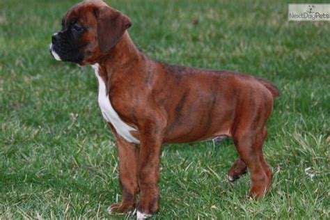 boxer puppies nc brindle boxer puppies for sale in nc breeds picture