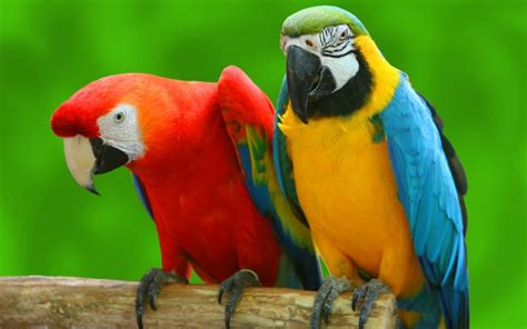 can parrots really talk wonderopolis