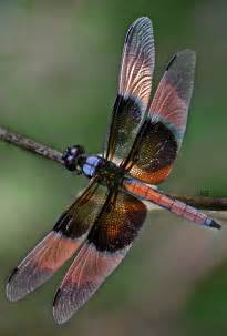 colorful dragonfly file dragonfly colourful wings jpg wikimedia commons