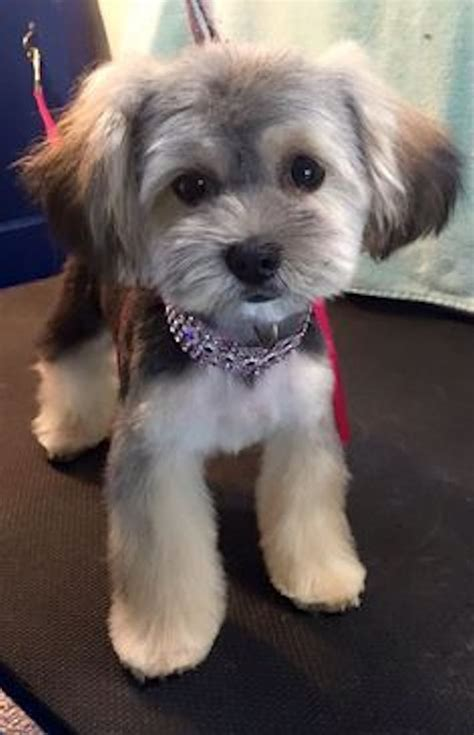 puppy haircuts for yorkie maltese mix best 25 havanese grooming ideas only on pinterest