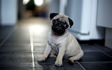pug desktop wallpaper pug puppy wallpapers wallpaper cave