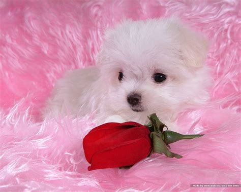 baby and puppy pictures 1600 1200 fluffy maltese puppy on fluffy blankets 21 wallcoo net