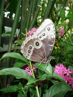 Gainesville Butterfly Garden by 1000 Images About Borboletas On Butterflies