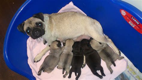 baby pugs for sale beautiful baby pugs for sale bristol bristol pets4homes