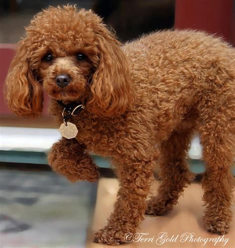 chocolate poodle puppy rudy chocolate poodle miniature poodle puppies