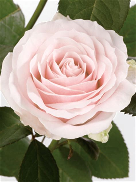 Best Flower by Rose Pink Sweet Avalanche Ubloom