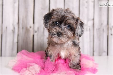 at what age is a yorkie grown at what age is a yorkiepoo grown breeds picture