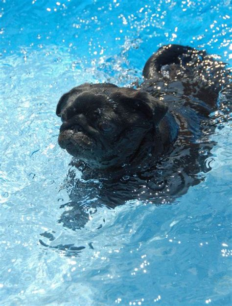 can pugs swim 17 best images about pets in pools on baby penguins swim and pool