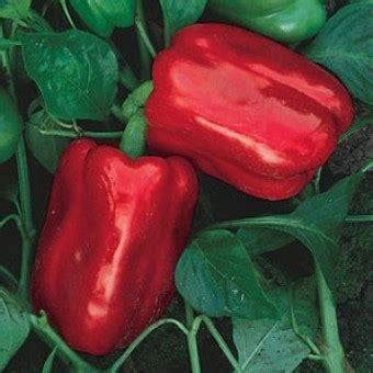 Benih Cabe Pimenta Morango Pepper Isi 5 Biji bibit cabe big pepper