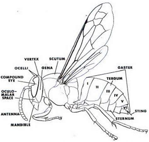 hornet cycle diagram bald faced hornets white faced hornets
