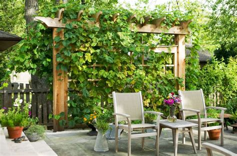 Trees For Patio by Exploring The Unique Particularities Of Privacy Plants