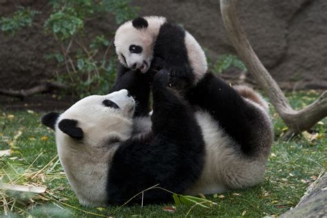 celebrating giant pandas at the san diego zoo suburban mama