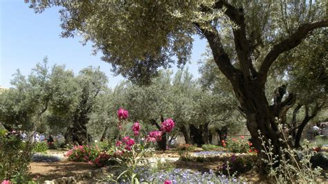 ulivi in giardino il giardino degli ulivi di deborah rohan arabpress