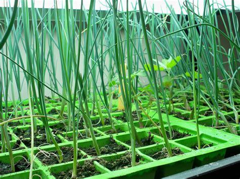 apprendre a planter des poireaux semis de poireaux en terrine