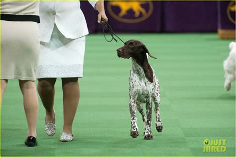 winner westminster show who won best in show at westminster show 2016 photo 3581296 random pictures