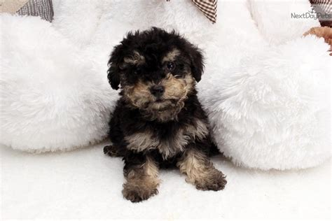 maltipoo puppies for sale near me malti poo maltipoo puppy for sale near los angeles california b955dad4 c5e1