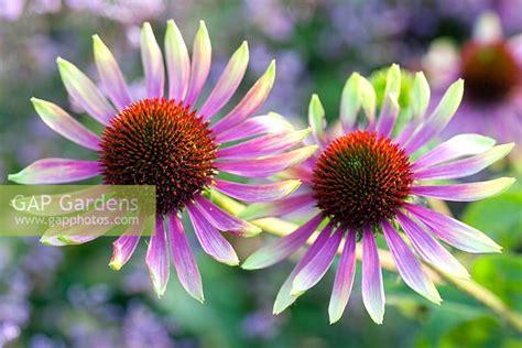 Echinacea Green Envy 3466 by Echinacea Green Envy Echinacea 7 495 7185988 Echinacea