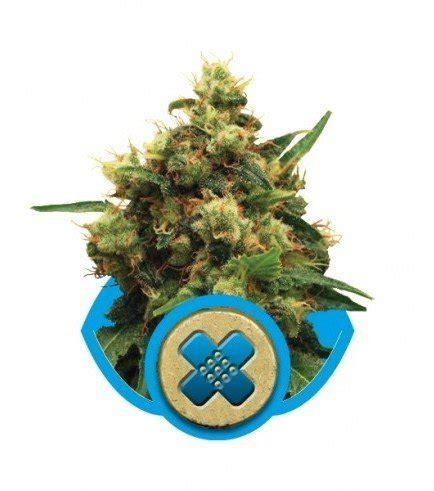 cannabis coltivazione in vaso marijuana autofiorente coltivazione semi di cannabis