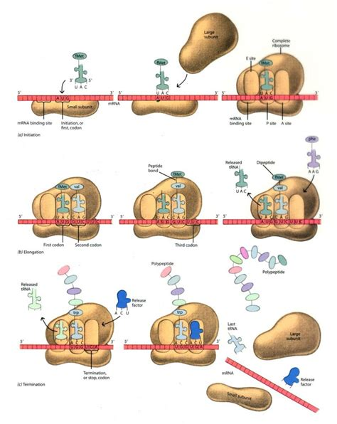 protein synthesis steps protein synthesis steps protein synthesis