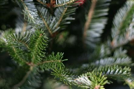 fresh christmas tree care living on a dime