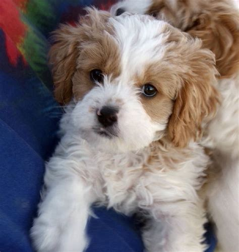 havanese king charles mix cavapoo cavalier king charles spaniel poodle mix puppy woof spaniels