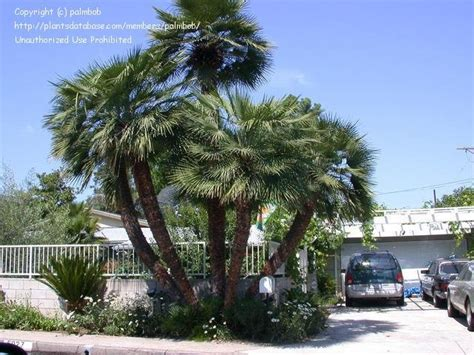 european mediterranean fan palm plantfiles pictures european fan palm mediterranean fan